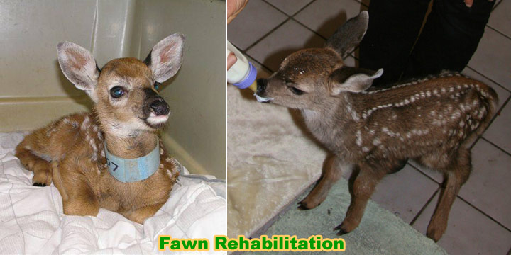 Mother Deer Respond to the Cries of Other Animal Babies