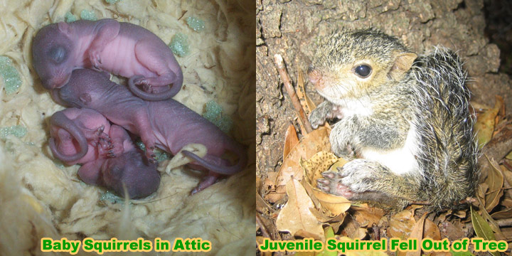 Squirrel Rehabilitator What To Do With A Baby Squirrel I Found