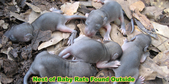 Newborn Field Mice Www Pixshark Com Images Galleries